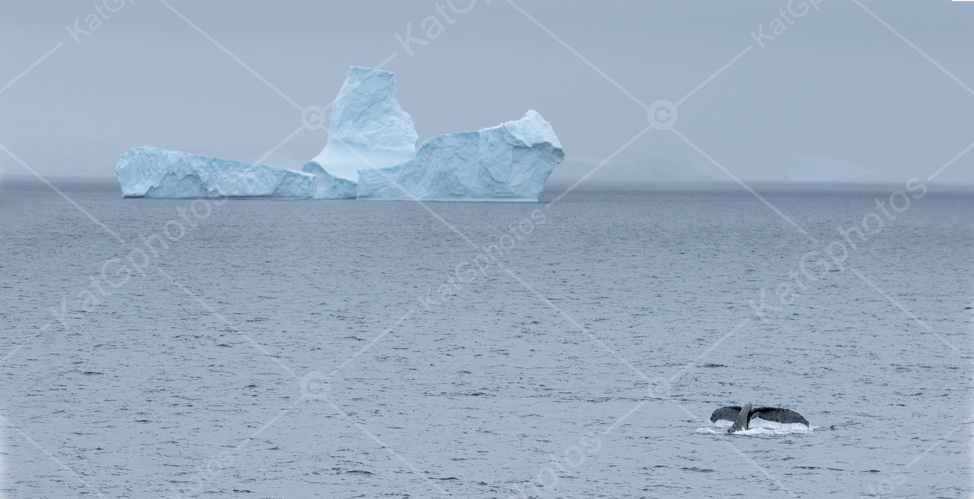 Humpback whale, humpback whales, whale, wild,  lindbladexp, natgeo, perfect, nature,  animal captures, beautiful, ocean, sea, Antarctica