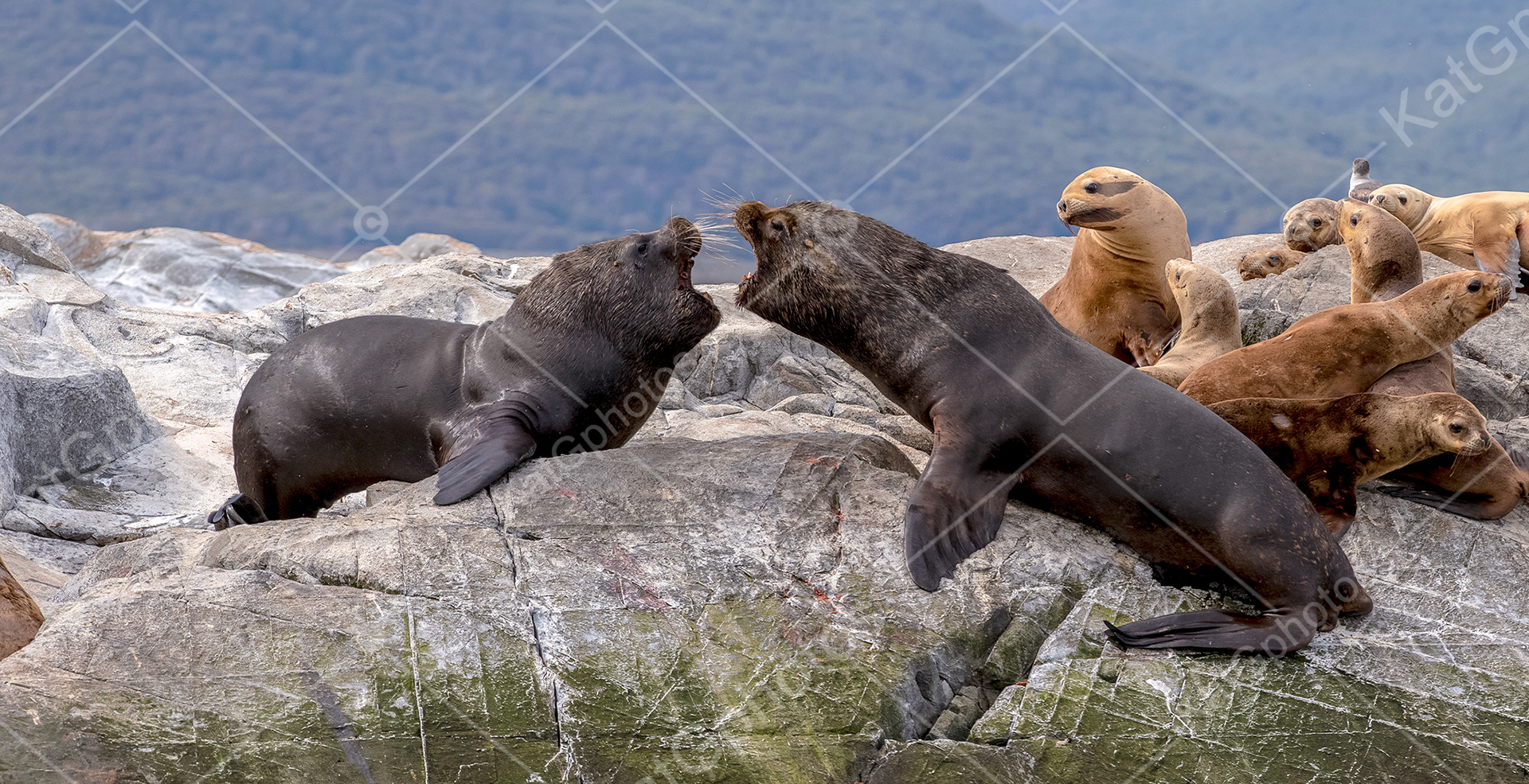 fur seals, seal, seals, wild,  lindbladexp, natgeo, perfect, nature,  animal captures, beautiful, ocean, sea, Antarctica