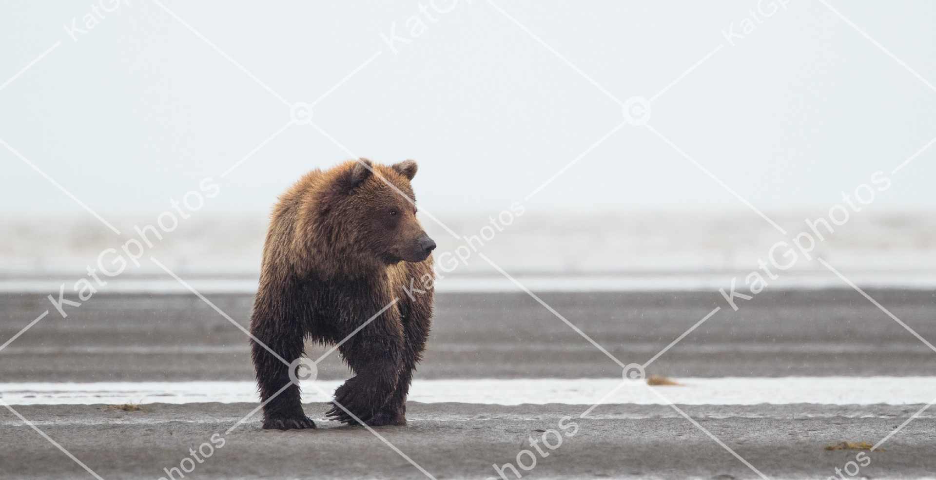 Grizzly bears, grizzly bear, bears, Alaska, wild,  lindbladexp, natgeo, perfect, nature,  animal captures, beautiful, wildlife