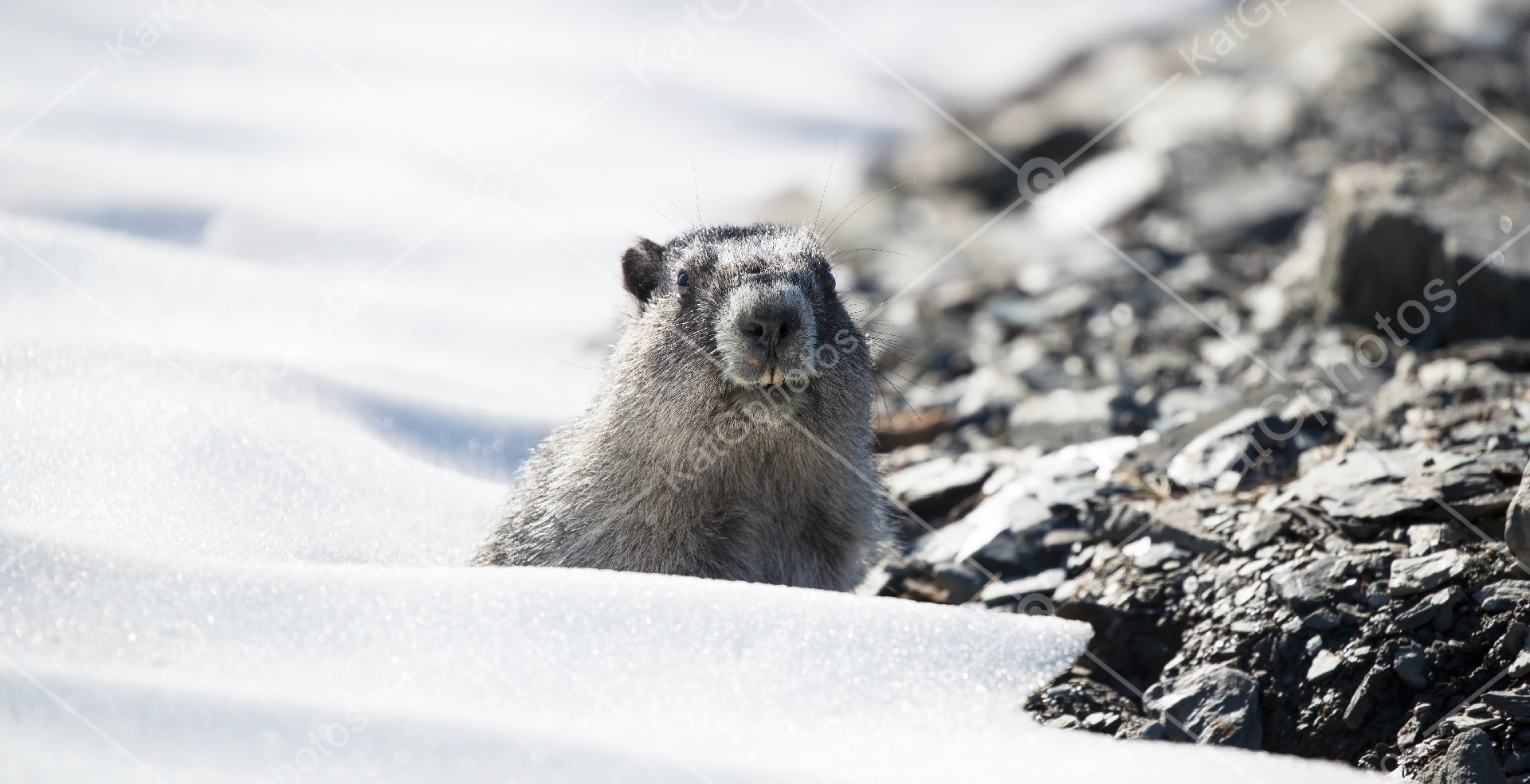 Alaska marmot, Brooks Range marmot, Brower's marmot, wildlife, Alaska, wild,  lindbladexp, natgeo, perfect, nature,  animal captures, beautiful, wildlife