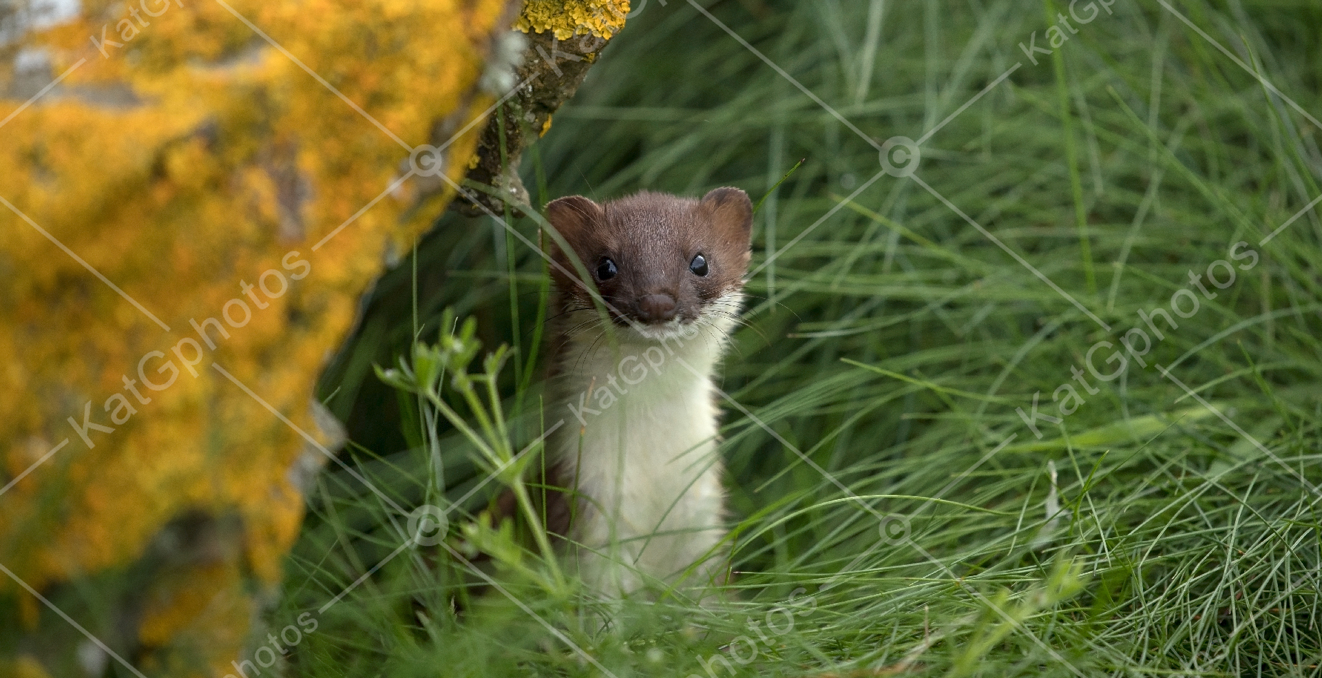 Stoat, Scotland, wild,  lindbladexp, natgeo, perfect, nature,  animal captures, beautiful, wildlife
